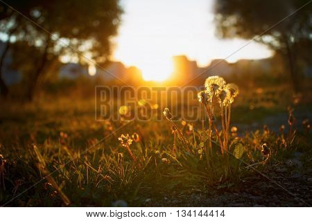dandelion field over sunset background. dandelions in the evening at sunset. the distance visible high-rise buildings