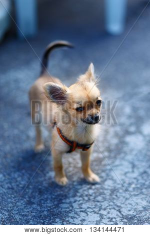 little charming adorable chihuahua puppy on blurred background. Eye contact