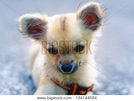 little charming adorable chihuahua puppy on blurred background. sitting on the ground