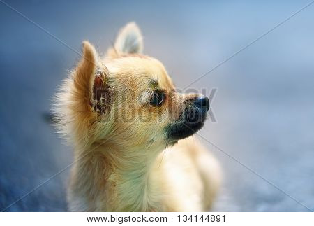 little charming adorable chihuahua puppy on blurred background. Profile portrait