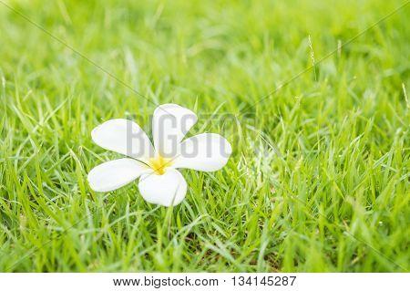 Fallen beautiful white flower desert rose flower on blurred fresh green grass floor textured background in the garden
