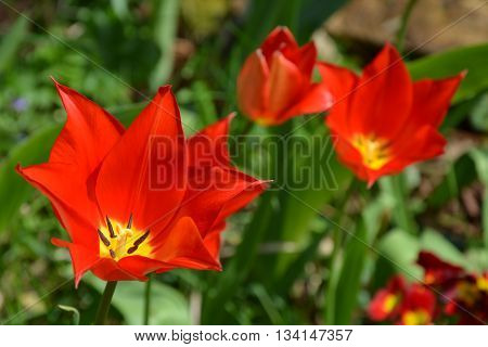 Red tulip with pointed petals with yellow center