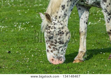 Leiden the Netherlands - June 26 2016: black spotted horse grazing in a field
