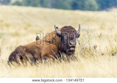 A bison is relaxing in a field with two birds sitting on its back