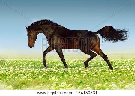 Bay stallion run in flower meadow at summer day