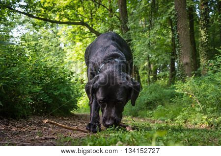 Black dog is biting the twig in the green forest