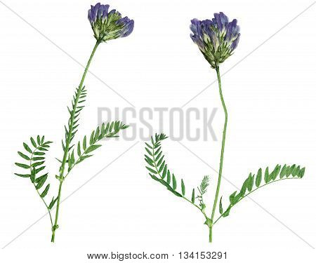 Pressed and dried flower astragalus (astragalus dasyanthus). Isolated on white background. For use in scrapbooking pressed floristry (oshibana) or herbarium