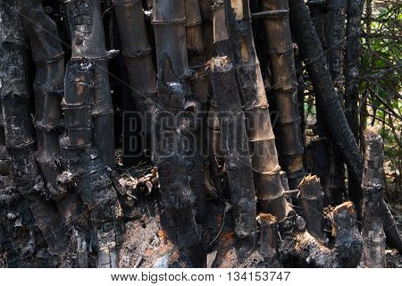 bamboo after a forest fire in Southeath Asia