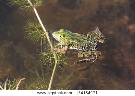 In France,the green frog and the puddle