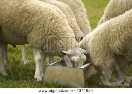 Sheep Feeding