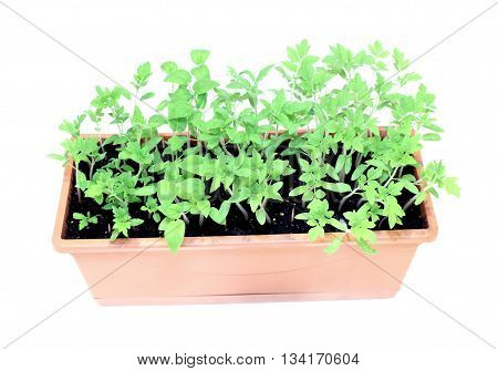Young plants tomato seedlings in flowerpot isolated on white background