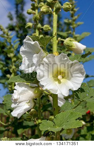 The bush mallow (Hibiscus syriacus) a magnificent flower gardens.