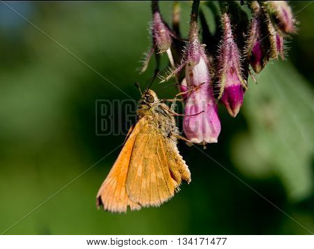 The large skipper (Ochlodes sylvanus) nettle flowers.