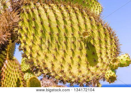 Detail Of Cactus In Galapagos