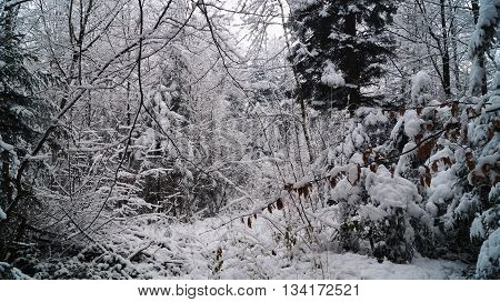 Winter forest with trees and snowdrifts the covered with white snow