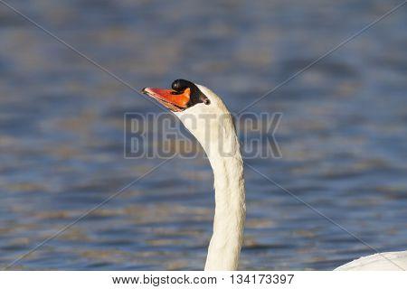 Mute swan keeps an eye on its surroundings