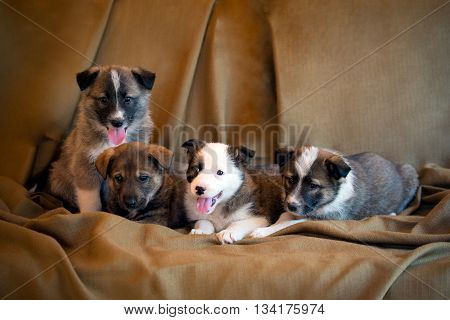 Four adorable eight week old puppies of a mongrel sitting together in a row on a brown fabric background.