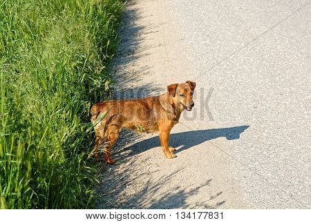Cute female stray dog standing on the road.