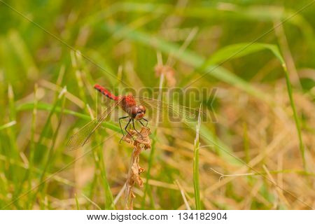 Front view macro of a red-veined darter resting on dried foliage in the grass.