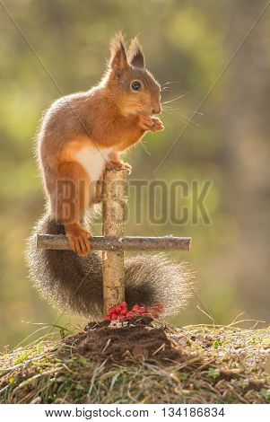 red squirrel standing with a grave standing on a cross