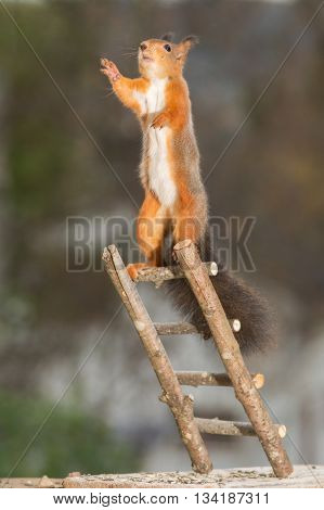 red squirrel standing on stairs reaching up