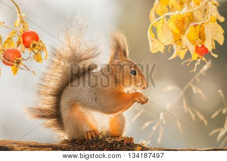 red squirrel standing between leaves and brier