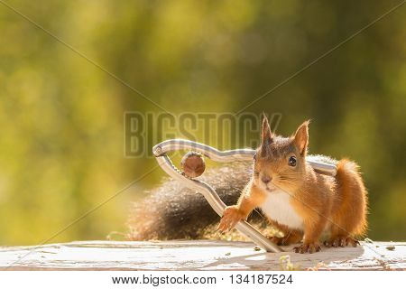red squirrel holding an in between a nutcracker