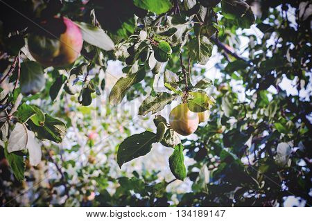 Apple garden. Group of fresh apples on apple tree at the garden, toned image