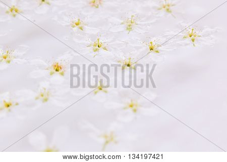 Pink small flowers on the water. Floral pattern. Wedding spring background. Macro. Bird-cherry. Japanese flowers.