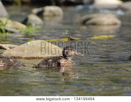 mallard duck youngster swimming in the water