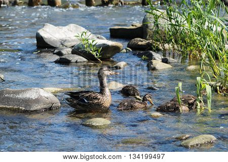 female mallard duck with her ducklings in the water
