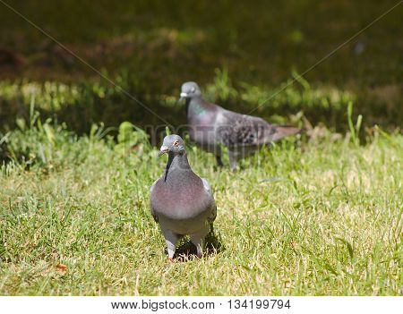 two nice gray pigeons walking in the grass