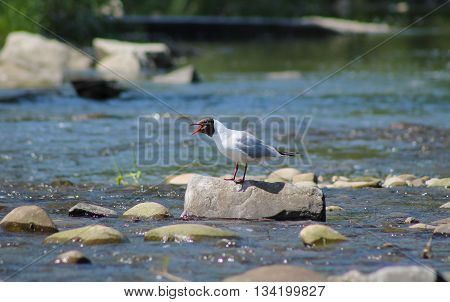seagull standing on the stone in the river and calling