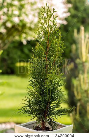Thuja In Nature Planted In The Yard