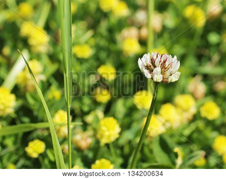 close photo of white bloom of trifolium and some blurred yellow flowers at the background