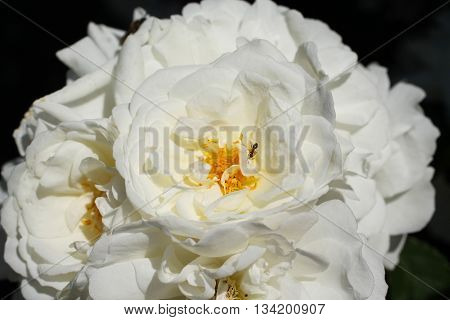 close photo of white blooms of peony with small ant