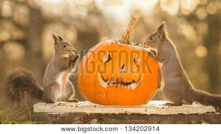 red squirrels standing on ice with a pumpkin head