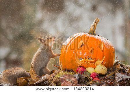 red squirrel in rain with pumpkin head