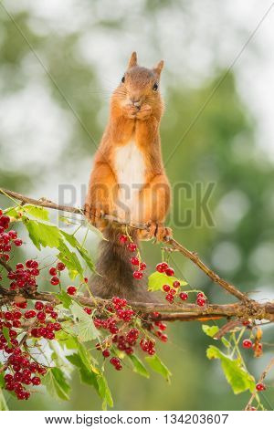 red squirrel standing on branch with redcurrant
