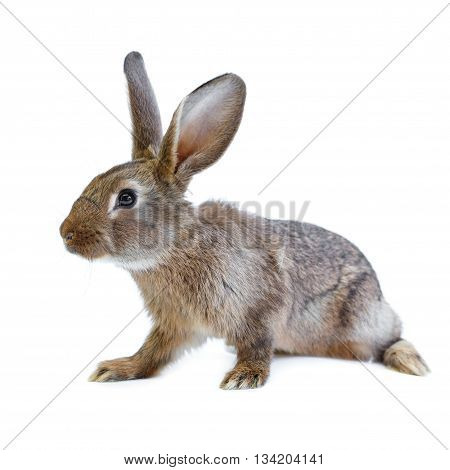 Young European Brown Rabbit On White Background