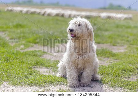 Romanian shepherd dog in a sunny day