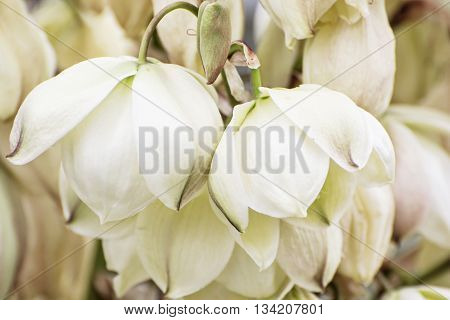 Background of Hesperoyucca whipplei flowers. Chaparral yucca Our Lord's candle Spanish bayonet Quixote yucca or Foothill yucca is a species of flowering plant. Beauty in nature.
