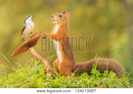 red squirrel standing with mushroom nuthatch on it