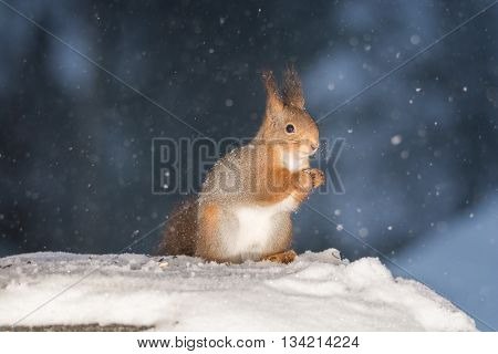 red squirrel on snow while snowing in snow