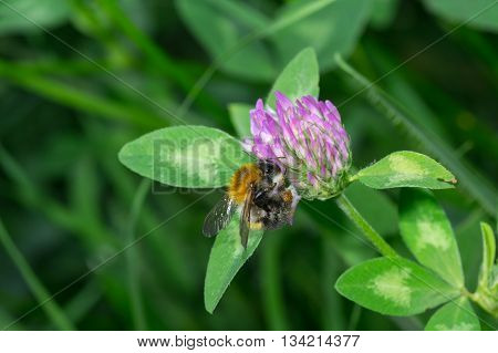 Hard worker bumblebee doing everday chores in evening wild herbs