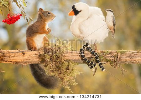 red squirrel looking at a swan with a nuthatch