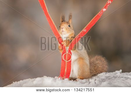 red squirrel in snow with zipper in sun light