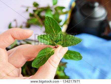 Sprig of mint in hand holding his fingers. Close-up. For tea.