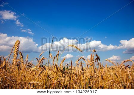 Yellow Wheat Field With Blue Sky And White Clouds