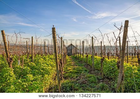 in the vineyard - view through the grapevines to a cabin